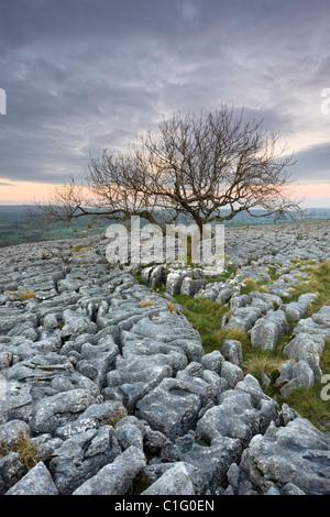 Gnarled tree growing through the limestone pavement on Twistleton Scar, Yorkshire Dales National Park, Yorkshire, - Stock Photo