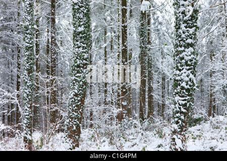 Snow covered winter woodland scene, Morchard Bishop, Devon, England. Winter (December) 2010. - Stock Photo