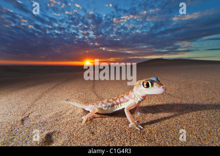Web-footed Gecko (Palmatogecko rangei) found in the coastal Namib Desert Namibia - Stock Photo