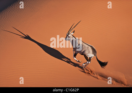 Gemsbok (Oryx gazella) In typical desert habitat Namibian desert sand dunes - Stock Photo
