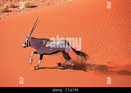 Gemsbok (Oryx gazella) In typical desert habitat. Dist. South-Western & Northern East Africa. NamibRand Nature Reserve, - Stock Photo