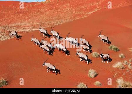 Gemsbok (Oryx gazella) In typical desert habitat. Dist. South-Western & Northern East Africa. NamibRand Nature Reserve, - Stock Photo