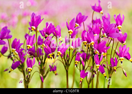Closeup of Shooting Stars (Dodecatheon pulchellum) in late spring at Eklutna Flats in Southcentral Alaska. - Stock Photo