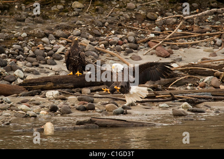 Bald Eagles looking for salmon in the Squamish River, Squamish, BC, Canada