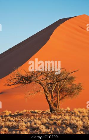 View of Acacia tree and red sand dunes at Sossusvlei in the Namib desert. Namib-Naukluft N.P, Namibia. - Stock Photo