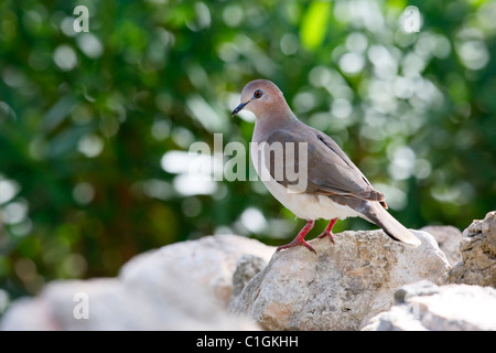 White-tipped Dove (Leptotila verreauxi verreauxi), White-tipped subspecies, resting on a rock in Bonaire, Netherlands - Stock Photo