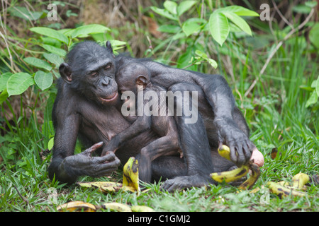 Mother and baby Bonobo Chimpanzee at the Sanctuary Lola Ya Bonobo, Democratic Republic of the Congo - Stock Photo