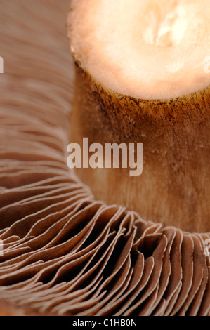 Large field mushroom - underside showing spores - Stock Photo