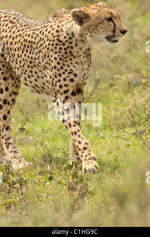 Stock photo of a cheetah walking across the short-grass plains of the Serengeti ecosystem, - Stock Photo