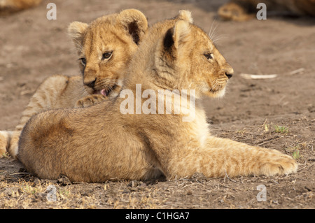 Stock photo of two lion cubs hanging out together. - Stock Photo