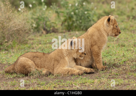 Stock photo of two lion cubs watching something on the plains. - Stock Photo