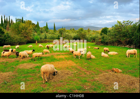 Flock of sheep in pasture during late afternoon - Stock Photo