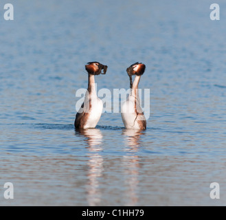 Great Crested Grebes Podiceps cristatus in courtship display performing weed dance - Stock Photo