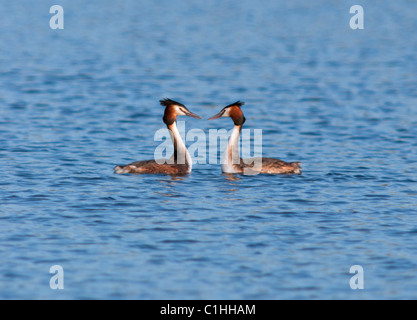 Great Crested Grebes Podiceps cristatus in courtship display - Stock Photo