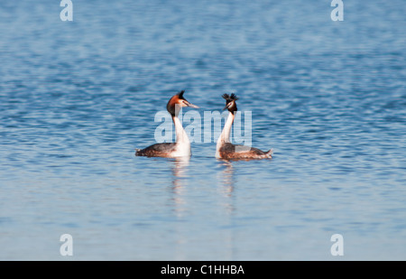 Great Crested Grebes (Podiceps cristatus) in courtship display - Stock Photo