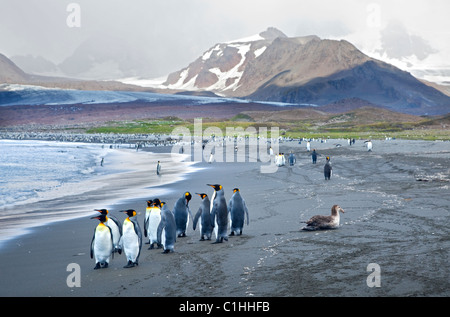 Colony of King Penguins (aptenodytes patagonicus) at St Andrews Bay, South Georgia - Stock Photo