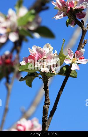 Himalayan flowers and fruit trees Nepal Himalaya - Stock Photo