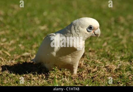 Little Corella (Cacatua sanguinea) Western Australia - Stock Photo