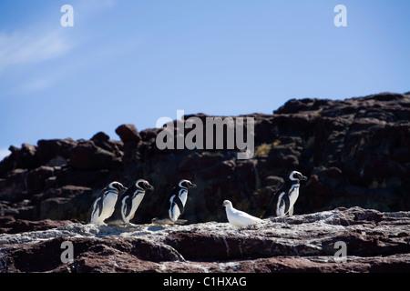 Magellan penguins, Isla Pinguina, Puerto Deseado - Stock Photo