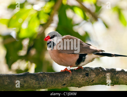 Shaft-tail Finch - Poephila acuticauda perched in tree - Stock Photo