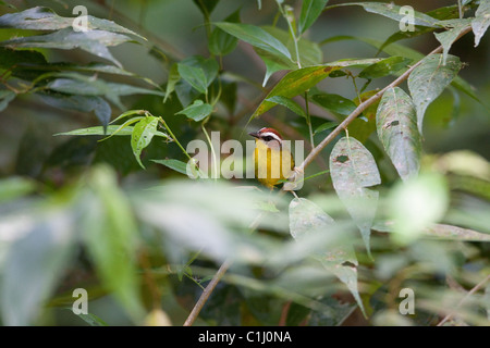 Rufous-capped Warbler, Basileuterus rufifrons mesochrysus, at in the rainforest at Isla Coiba national park,  Veraguas - Stock Photo
