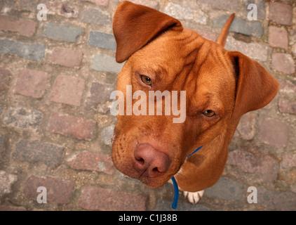 George the Staffordshire Bull terrier Douge de Bordeaux cross bread dog - Stock Photo