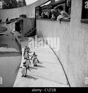 London, 1950s. A photograph by J Allan Cash of people watching the penguins at London Zoo, a city zoo in Regents - Stock Photo