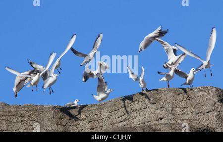 A group of seagulls flying. - Stock Photo