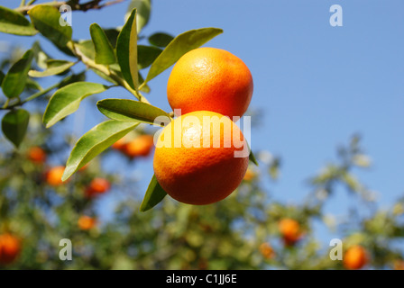 A pair of ripe tangerines on a tree against blue sky - Stock Photo