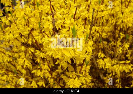 yellow flowers of forsythia bush in full bloom, oleaceae stock, Natural flower