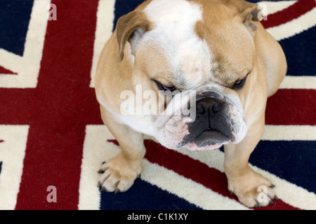 A British Bulldog Sat on a Union Jack Rug - Stock Photo