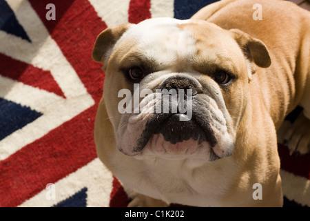 A British Bulldog Sat on a Union Jack Rug - Stock Photo