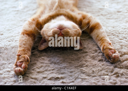 A house cat with outstretched paws sleeps peacefully on its back on a soft carpet. Photo copyrighted by Michele - Stock Photo