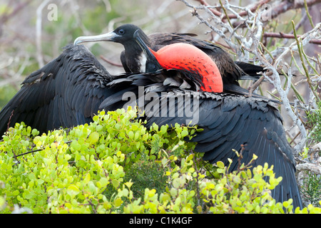 Magnificient frigatebird couple mating in the Galapagos islands (Seymour Norte), also named pirate birds - Stock Photo