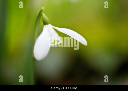 UK, Britain. Close-up of a wild Snowdrop flower (Galanthus nivalis) in winter - Stock Photo