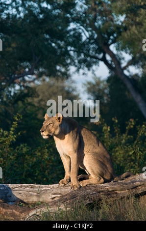portrait of a lone lioness sitting on a fallen dead tree enjoying the early morning sun in botswana - Stock Photo