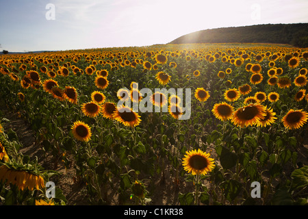 Sunflower Field, Aude, Languedoc-Roussillon, France - Stock Photo