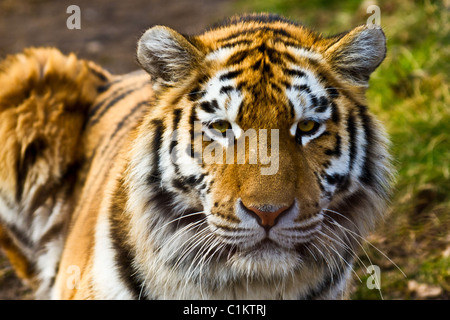 Closeup of tiger relaxing in the sun - Stock Photo
