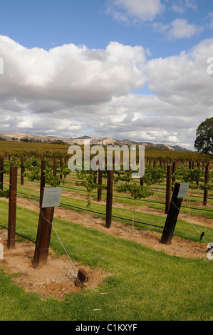 A selected area with cut grass and trip vines for the benefit of visitors is Jacobs Creek in the Barossa Valley,South - Stock Photo
