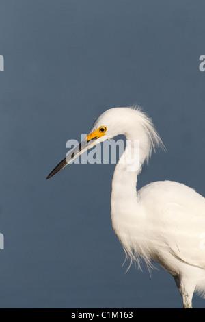 Snowy Egret (Egretta thula) Portrait - Stock Photo