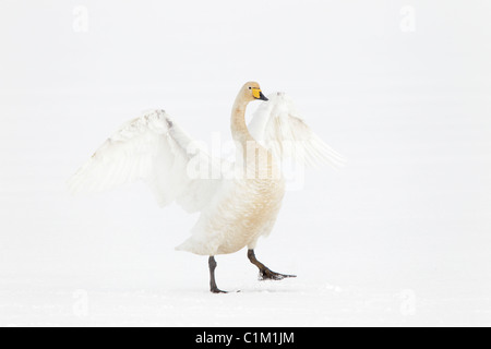 Adult Whooper swan flapping its wings in the winter in Iceland - Stock Photo