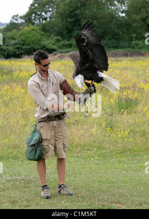 American Bald Eagle aka American Sea Eagle, Haliaeetus leucocephalus, Accipitridae. Captive Bird with Handler, Hawk - Stock Photo