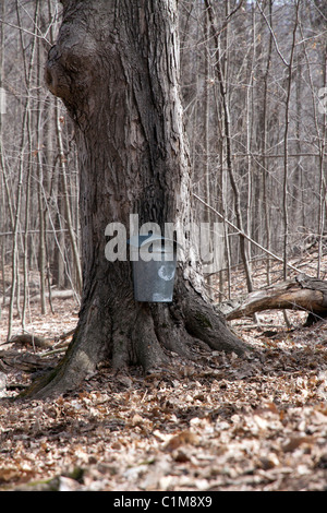 Gathering or collecting sap from Sugar Maple tree Acer saccharinum Early March Southern Michigan USA - Stock Photo