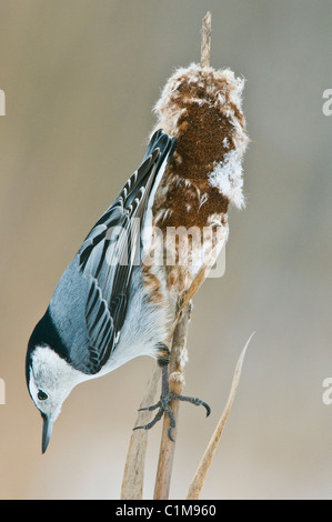 White-Breasted Nuthatch (Sitta carolinensis) on Cattail (Typha) in winter Eastern USA - Stock Photo