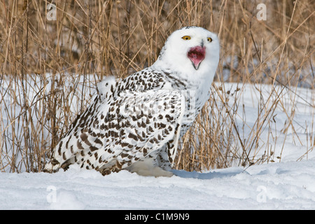Great Snowy Owl Nyctea scandiacus female calling North America - Stock Photo