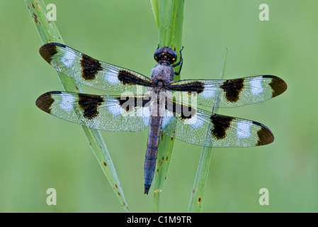Dew-covered Twelve-Spotted Skimmer Libellula pulchella E USA - Stock Photo