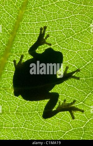 Gray Tree Frog Hyla versicolor silhouette on Common Milkweed leaf Asclepias syriaca Eastern North America - Stock Photo