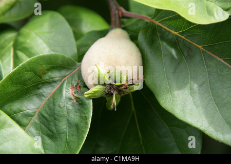 common quince cydonia oblonga with fruits stock photo royalty free image 76195787 alamy. Black Bedroom Furniture Sets. Home Design Ideas