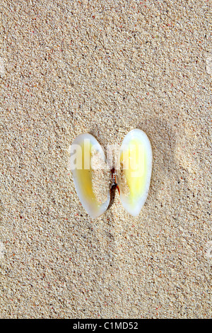 clams shell open in caribbean beach sand clamshell - Stock Photo