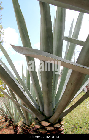 Agave cactus tequilana plant for distill Mexican tequila liquor in a row - Stock Photo